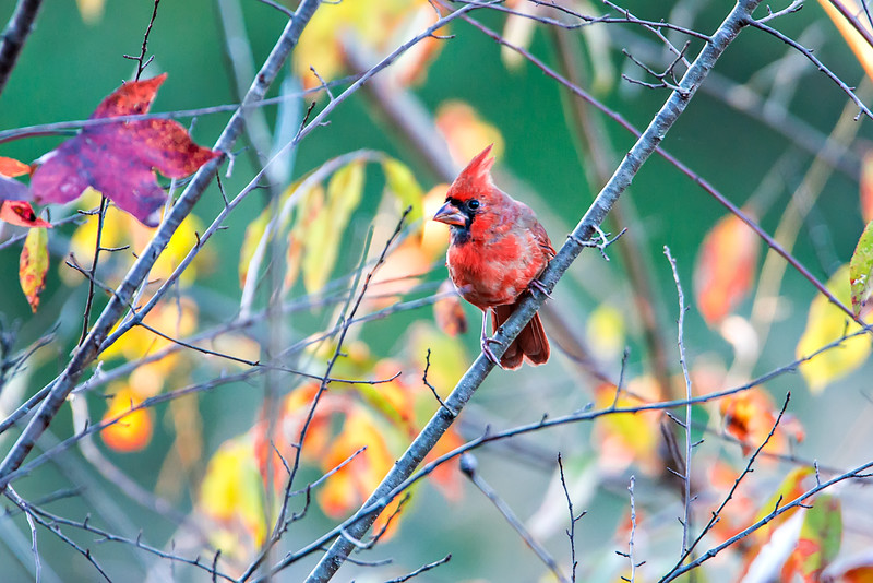 Northern Cardinal Cardinalis cardinalis perched on a branch