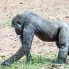 gorilla monkey picking food speck off the ground