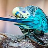 Budgerigar Parakeet sitting on a tree branch