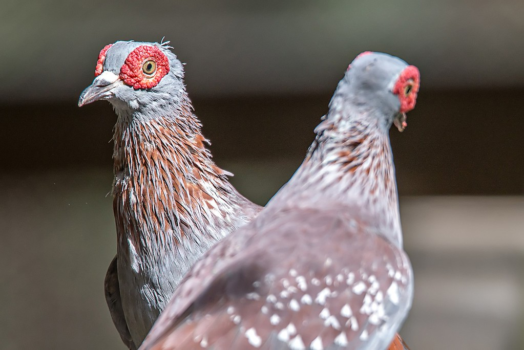 pair of Spekled pigeon or Feral pigeon (Columba guinea) on wood rail