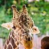 giraffe feeding on green leaves of lettuce