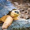 Razor-Backed Musk Turtle (Sternotherus carinatus) Kinosternidae