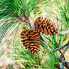 two pine cones on a branch