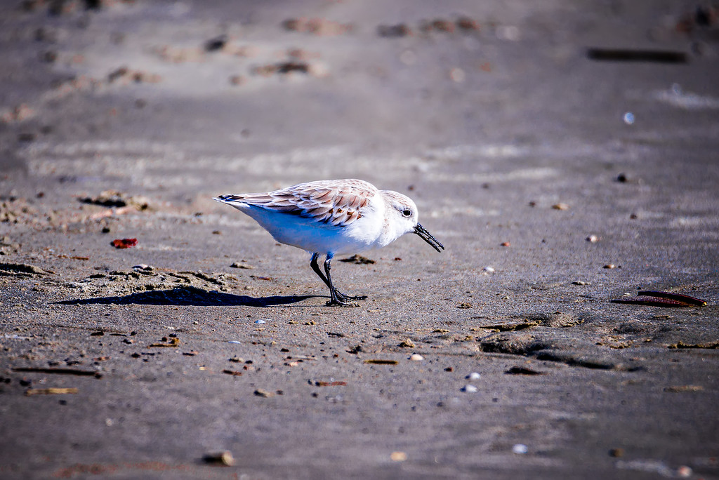 Spoon-billed Sandpiper and shorebirds at the south carolina beachVery rare and critically endangered species of the world,walking and foraging in water with morning light
