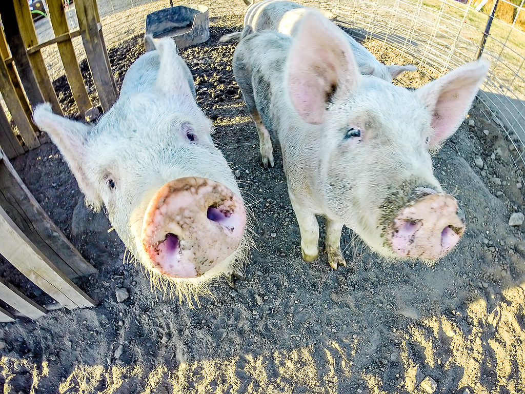 three little pigs on the farm