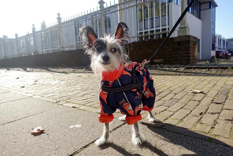 Nederland, Amsterdam , Amsterdam Oost, 23 oktober 2016, een geklede chinese gekuifde naakthond ,   foto: Katrien Mulder