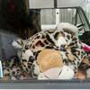 Nederland, Amsterdam, auto bewaakt door tijger;30 november 2016, foto: Katrien Mulder