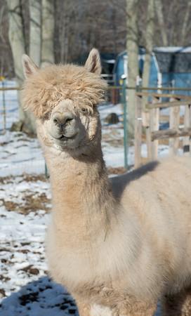 JOED VIERA/STAFF PHOTOGRAPHER- Lockport, NY-An Alpaca's fleece covers its eye at Cuddly Alpaca Farm.