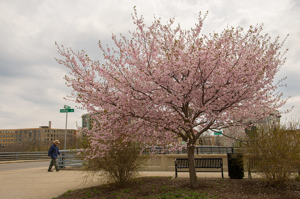 JOED VIERA/STAFF PHOTOGRAPHER- Lockport, NY- A Cherry blossom tree on Canal Street blooms.