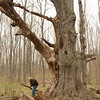JOED VIERA/STAFF PHOTOGRAPHER- Lockport, NY-Kenneth Horvath picks up brush at the site of a tree estimated to be close to 400 years old at the John B. Austin Nature Trail.