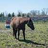 JOED VIERA/STAFF PHOTOGRAPHER- Middleport, NY-A horse walks around pasture on a Middleport farm.