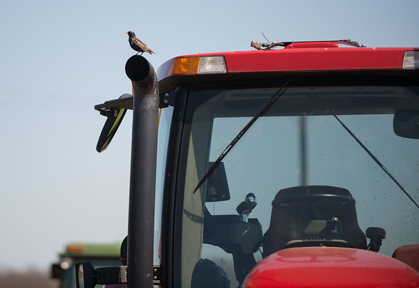 JOED VIERA/STAFF PHOTOGRAPHER- Middleport, NY-A bird lands on a tractor at a Middleport farm.