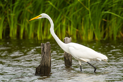 Egret Fishing for Lunch