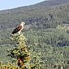 WE WERE SITTING IN  DIANE & BART'S DEN IN SNOWMASS VILLAGE AND THIS BIG HAWK LANDED NEARBY.