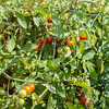 JOED VIERA/STAFF PHOTOGRAPHER-Lockport, NY- Tomatoes grow in a garden behind a home on Webb Street and Stevens Street. Cornell Cooperative Extension has warned residents near the HTI Fire not to eat produce grown in their gardens