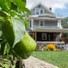 JOED VIERA/STAFF PHOTOGRAPHER-Lockport, NY- A pepper grows in a garden behind a home on Webb Street and Stevens Street. Cornell Cooperative Extension has warned residents near the HTI Fire not to eat produce grown in their gardens