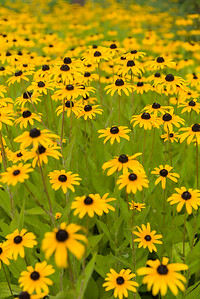 Black-Eyed Susans at Nemacolin Resort