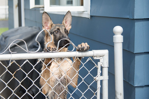 JOED VIERA/STAFF PHOTOGRAPHER-Lockport, NY-According to residents  this dog was partly responsible for  starting a fire on South New York Street early Friday morning.