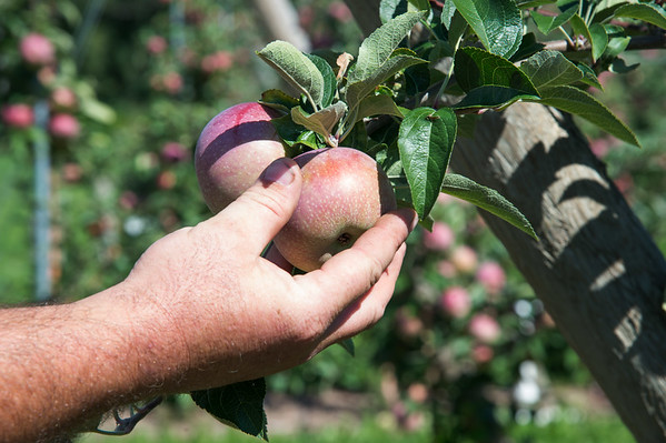 JOED VIERA/STAFF PHOTOGRAPHER-Appleton, NY-  An empire apple is picked on Bittner and Singer Farms.