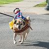 JOED VIERA/STAFF PHOTOGRAPHER-Lockport, NY-  Cara, a puggle service dog helps her owner across Main Street.