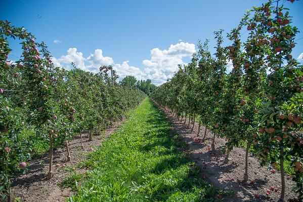 JOED VIERA/STAFF PHOTOGRAPHER-Appleton, NY-  Apples grow on Bittner and Singer Farms.