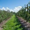 JOED VIERA/STAFF PHOTOGRAPHER-Appleton, NY-  Apples grow on Bittner and Singer Farms.