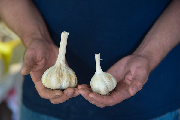 JOED VIERA/STAFF PHOTOGRAPHER-Lockport, NY-  shows the difference between irrigated and non irrigated garlic harvests at Mccollum Orchards.