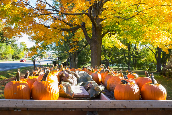 JOED VIERA/STAFF PHOTOGRAPHER-Newfane, NY-Pumpkins for sale in front of a house on the 3800 block of route 78.