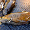 JOED VIERA/STAFF PHOTOGRAPHER-Burt, NY-Three conquered brown trout line the back of a 4-wheeler at Fishermans Park.
