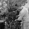 JOED VIERA/STAFF PHOTOGRAPHER- Lockport, NY-Chris Parada and Chris Miller install christmas trees along a Main Street median.