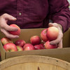 Joed Viera/Staff Photgrapher-Lockport, NY-Peter Wagner packs apple boxes head for local schools at Wagner's Farm Market.