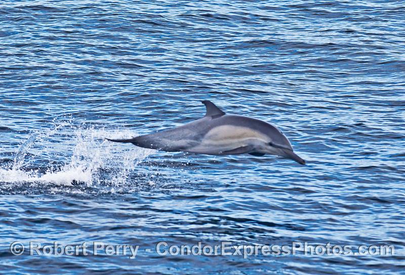 Long-beaked common dolphin - part 2.