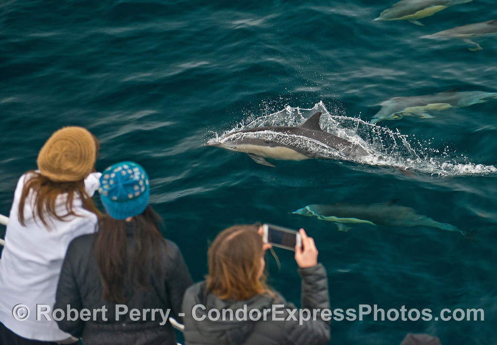 Short-beaked common dolphins with their fan club.