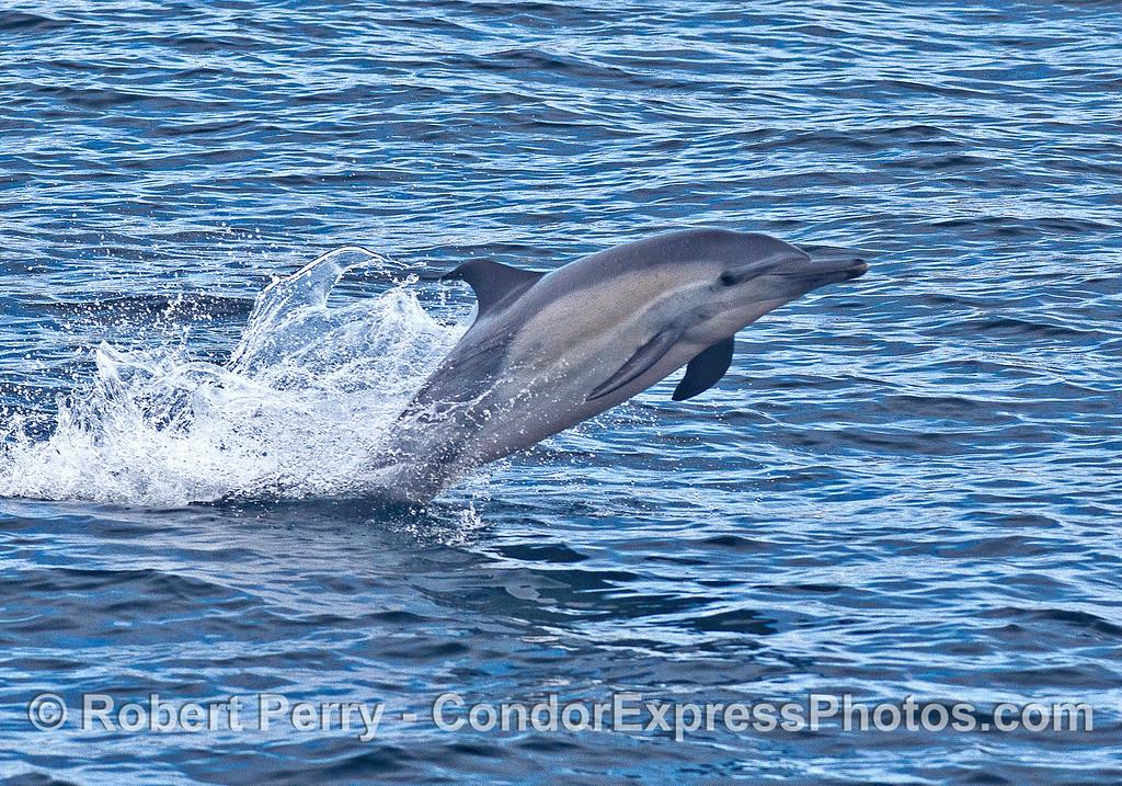 Long-beaked common dolphin - part 1.