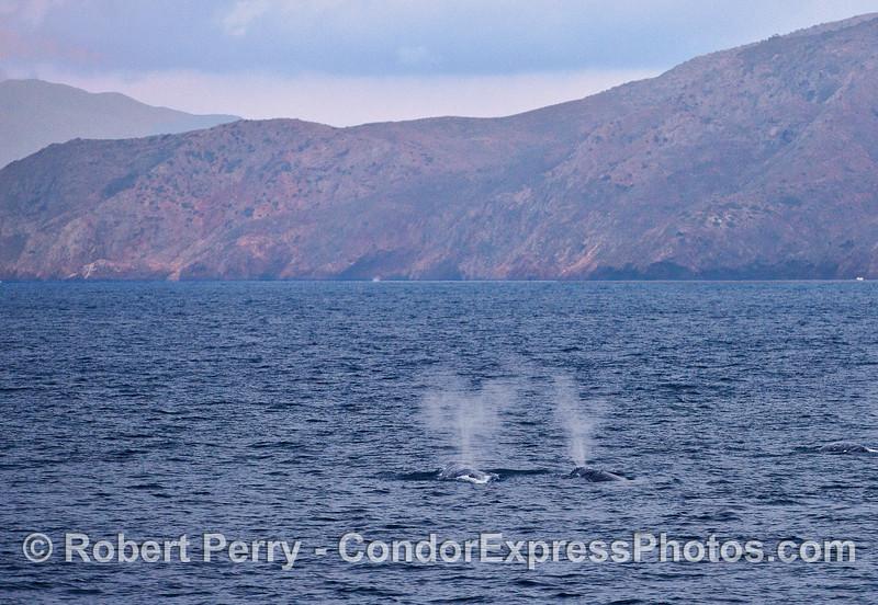 Twin spouts - gray whales near Santa Cruz Island.