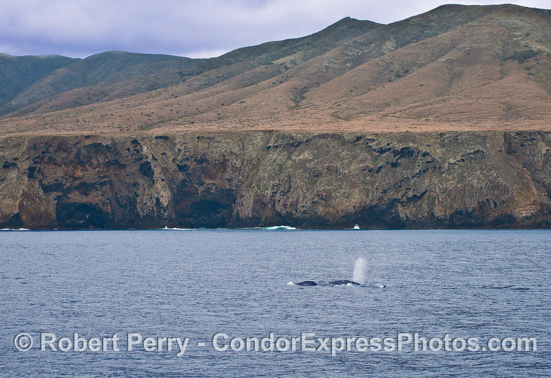 Gray whales and the sea cliffs of Santa Cruz Island.