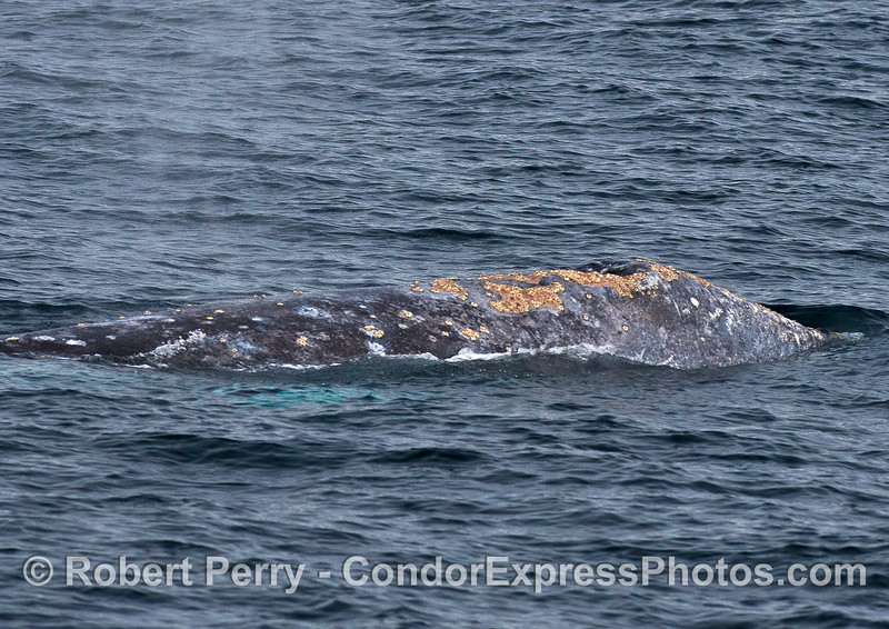 Right flanks - gray whale.