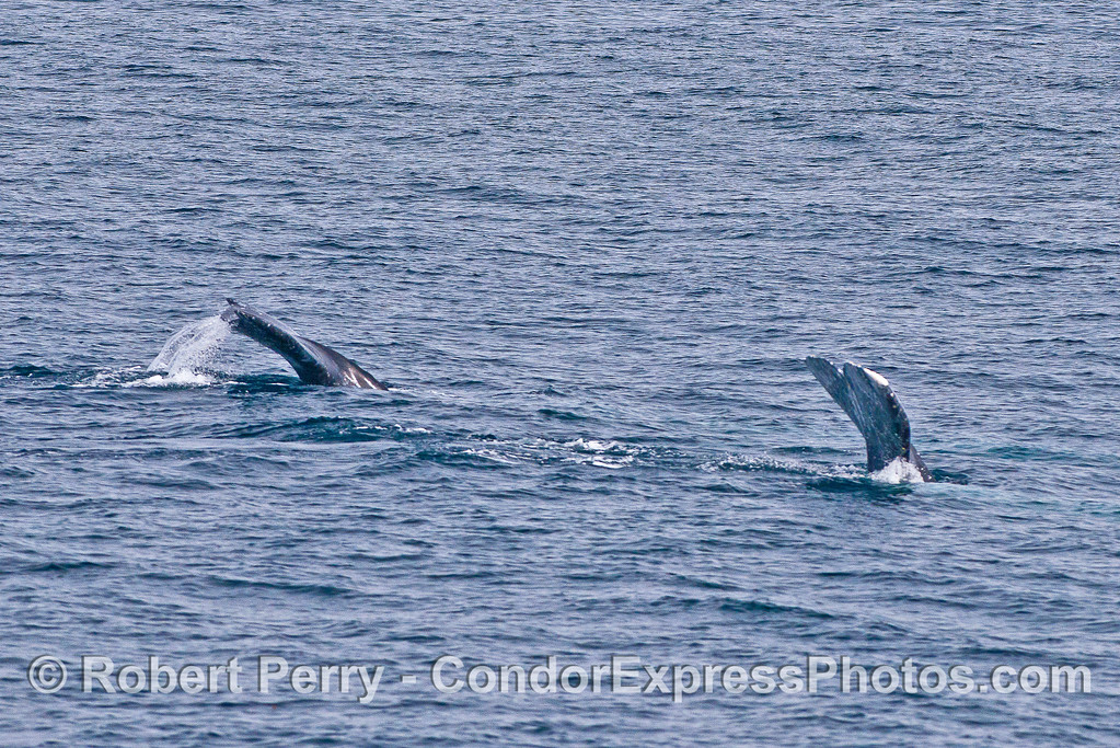 A rare double tail fluke image - two gray whales.