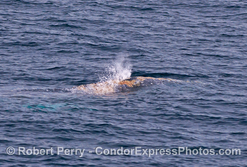 Gray whale spout -  just getting started.