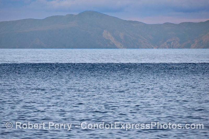 The dark band - Short-beaked common dolphins - megapod.   (Santa Cruz Island in back)