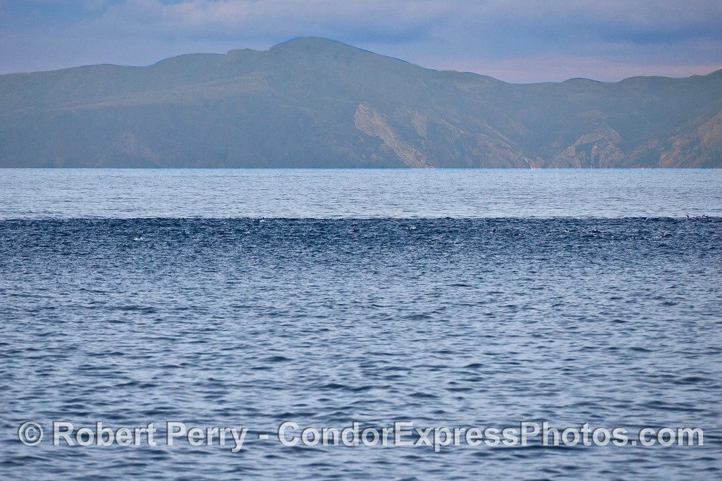 The dark band - Short-beaked common dolphins - megapod.   (Santa Cruz Island in back)