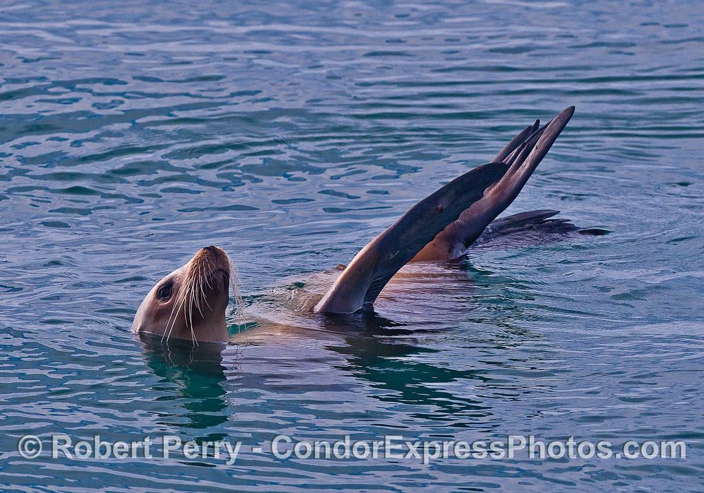 A rafting California sea lion.