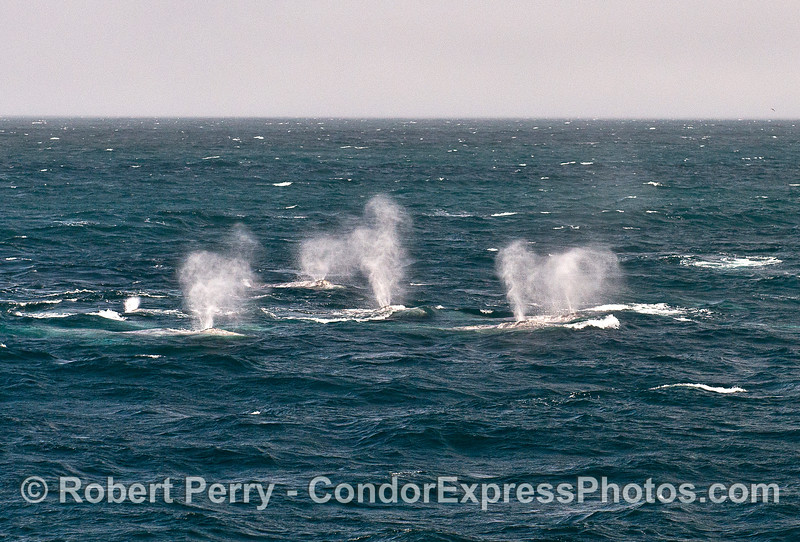 Southbound gray whales in tight formation.