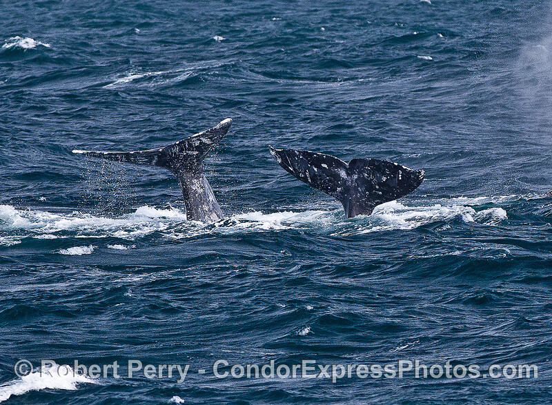 Two dynamic gray whale tails amidst rough seas.