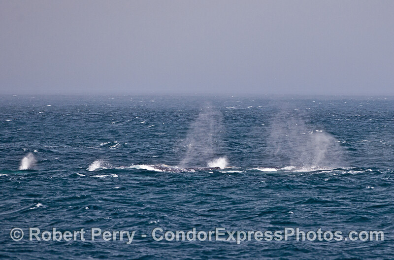 Fog sets in.  Winds are stronger now.  Seas are choppy.  Gray whales travel in a tight group.