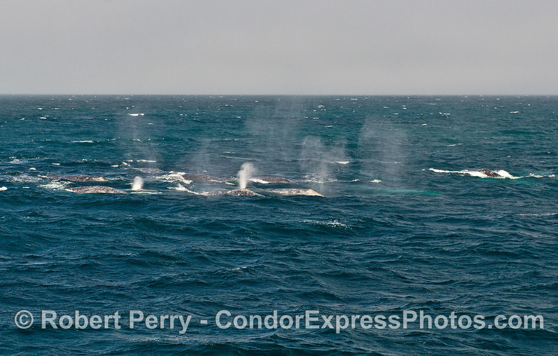 Approximately 10 gray whales are captured by focusing the camera on just a portion of the entire super-pod.  Note the light glowing bodies of submerged whales in the mix.