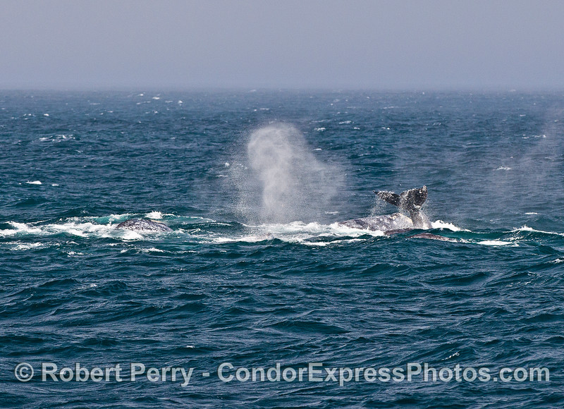 A melange of gray whale postures as the tightly packed megapod moves as a single unit.