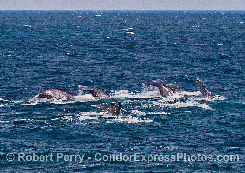 Six gray whales fluke-up simultaneously as in a synchronized swim event.