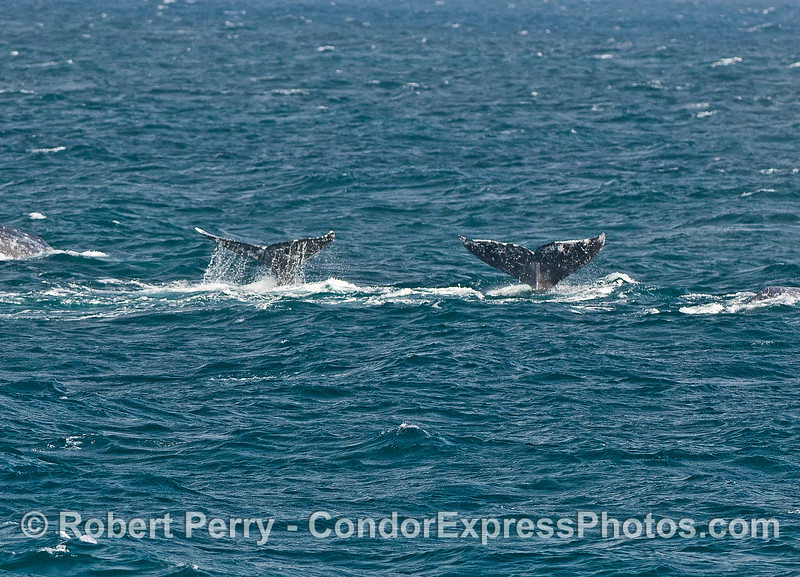 Dual gray whale tails.