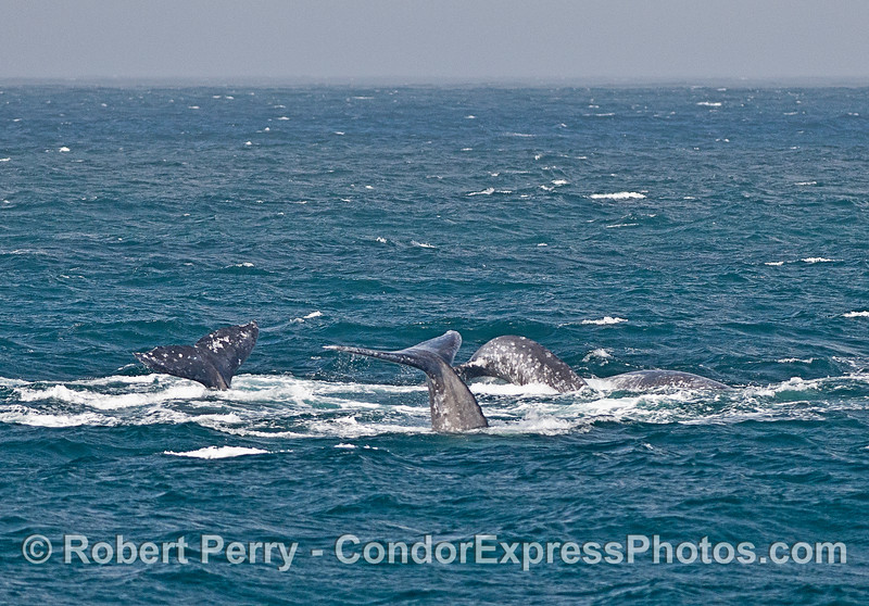 Multiple gray whale tails in a choppy sea.